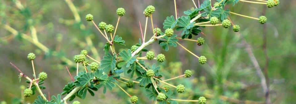 Acacia-pulchella-in-bud